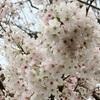 散る前に満開の桜の鑑賞!桜の起源と連作障害に思う事。
