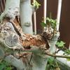 イチジクはカミキリムシを呼ぶ木、は本当だった