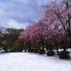 雪桜(樹木公園編)