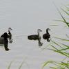手賀沼で遊ぶオオバンの親子