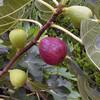イチジクの初収穫