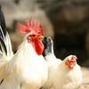 鶏肉の栄養は秘めたる効果あり!!何個知ってる?