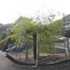 近所の防水槽のそばに植えられている柳