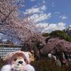 #上野動物園#シャンシャン#リーリー#シンシン#上野公園#桜