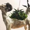 双頭山羊鉢 X ハオルチア「ディソアンシー」