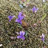 「何故か、植えた覚えのないスミレが咲いている。」 - Viola mandshurica