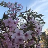さくら さくら 山の桜