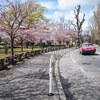 中島公園のサクラ