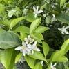 長崎県山辺果樹園さんのネロリ花摘み体験に行ってきましたよ!