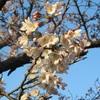 兵庫県 須磨浦公園 咲き始めの桜