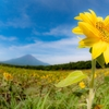 8月の花!向日葵と百日草に富士山を添えて!
