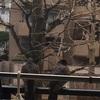 つがいの雉鳩