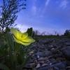 世界に一つだけの花であっても、価値があるとは限らない。もちろん価値などなくてもいいのだが。