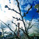 神戸サクラ通信その3「メリケンパークの桜、来週あたりピンク色につぼんでくるかな」