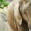 アフリカゾウ@東山動物園