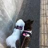 甲斐犬サンとハーネス(マコもいます〜)U^ェ^Uわんわんお!