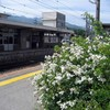飯田線市田駅のノイバラ