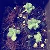 葉ざしその後、小さな芽