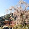 久遠寺と枝垂桜