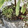 サンブリテニアの寄せ植えは無事ゴミ箱の仮住まいから脱出出来ました