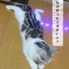 猫の種類~スコティッシュフォールド~