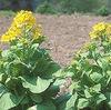 はくさい3 白菜の花は菜の花.「白菜はカブとツケナの交雑によって中国で生まれた」とされています.日本での結球白菜の栽培史は,初め苦労の連続.そして,現在の黄色い?白菜が誕生しました.