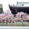 佛光寺のしだれ桜2018。見頃や開花状況。