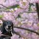 バジルと河津桜