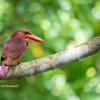 2019年5月26日の鳥撮り-石垣