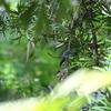 営巣中のクロエリヒタキ(Black-naped Monarch)