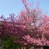 兵庫県明石市)御厨神社(二見梅林)。梅が見ごろ。スズガモ(メス)、イソヒヨドリ(オス)。