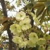 桜の葉の蜜と黄色い桜