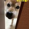 【柴犬の性格】飼い主に忠実って本当? ウチの柴犬の場合・・・
