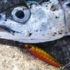 【5目釣り】マイクロメタルジグを使った漁港でのお手軽ライトゲーム【安心、信頼の実績】