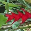 新宿御苑で見た植物⑭ ヘリコニア・カリバエア