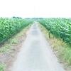 とうもろこし畑の道・ついついトトロを思い出してしまいます。