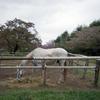千葉県のお花見の穴場、秋元牧場で馬と桜と牛を撮ってきたんです
