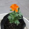 マリーゴールド 本葉~開花