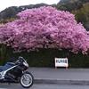 寒くても、眠くても・・・・走るぜ!河津桜ツー2014