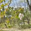 丸太ハウスの桜咲く