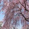 福島県さくら旅(日中線しだれ桜と鶴ヶ城)