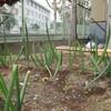 菜園プロジェクト ネギの収穫