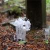 森の神秘 - 銀竜草 - ヨガ・リトリート