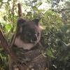 2018年3月 シドニー旅行記⑨ ~ 5日目前半 コアラ♪ コアラ♪ コアラ♪ たっぷり触れるコアラパーク・サンクチュアリ ~