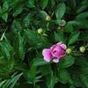 「朝露に濡れて咲く庭先の花々」