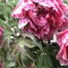 雨に濡れてうなだれる庭の牡丹
