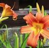 「佐久の季節便り」、青い空にお日さま、「ヘメロカリス」も咲いて…。