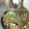 パキポディウム・グラキリス、発根管理1ヶ月の経過報告。新芽が出てきた⁉︎