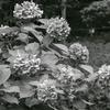 白黒紫陽花