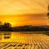 📸 田んぼ夕景と黄色い薔薇
